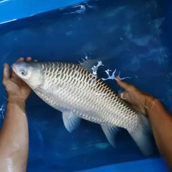 Ah Lau Food King | fish sultan