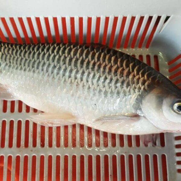 Ah Lau Food King | sultan fish